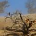 Requiem for an Oak Tree by kikapookid