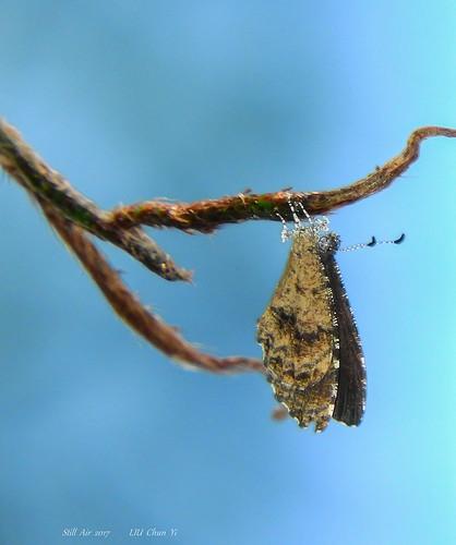 eresinatheodori eresina theodori