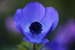 Die blaue Anemone im Garten