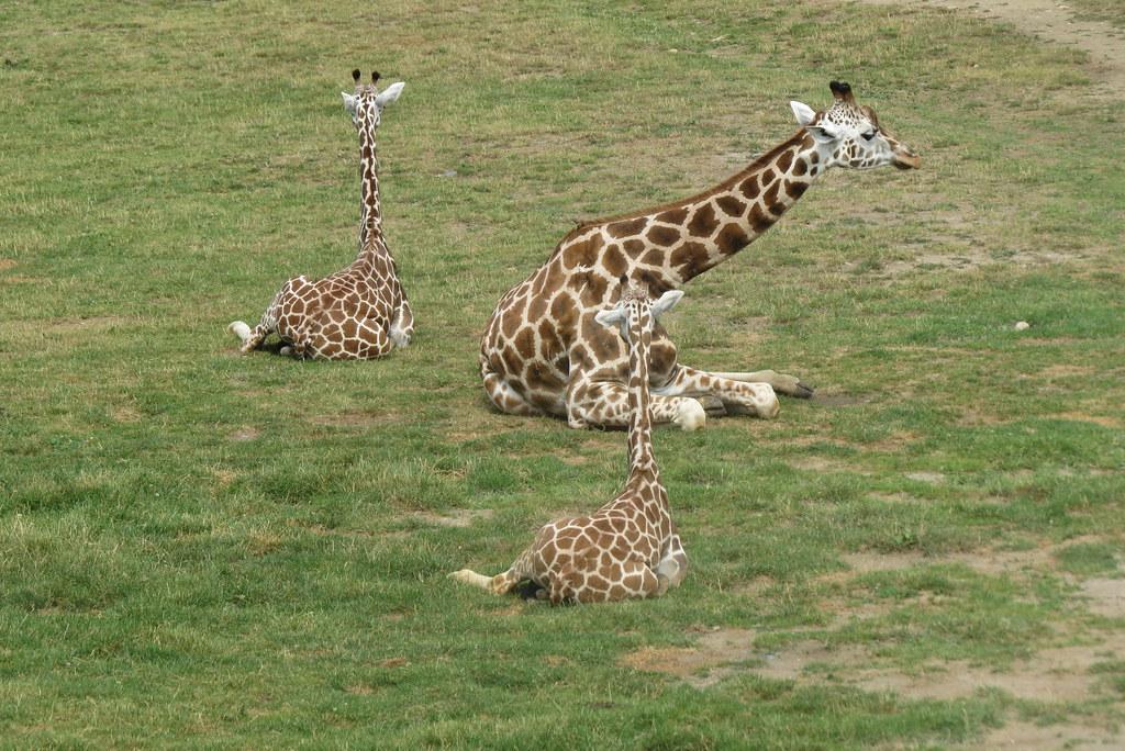 Жирафики отдыхают