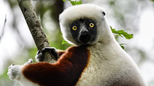 provincedetamatave madagaskar mg lemur