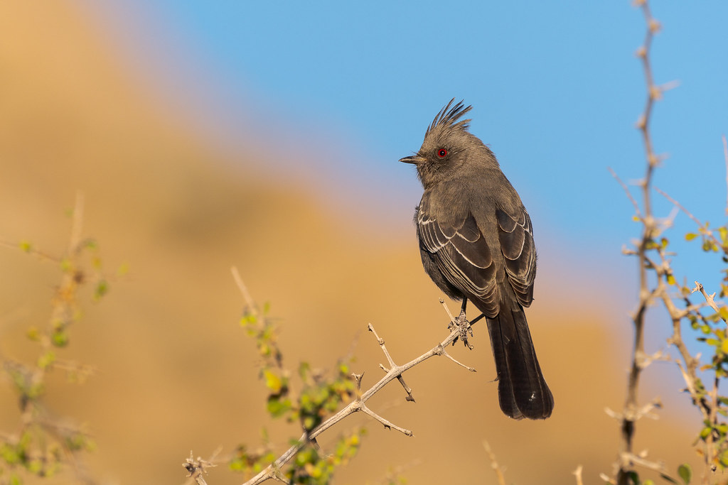 A female phainopepla perches in a tree early on a November morning along the Marcus Landslide Trail in McDowell Sonoran Preserve in Scottsdale, Arizona