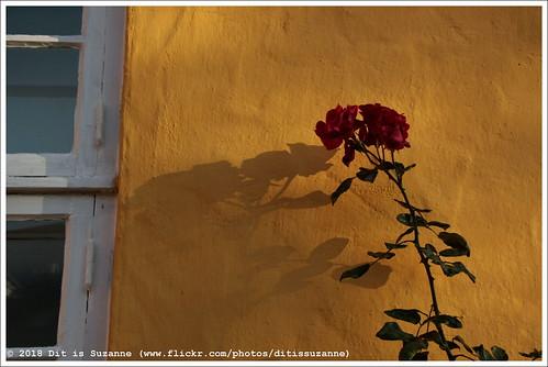 16112018 img7444 denemarken denmark dänemark дания danmark zuiddenemarken syddanmark süddänemark southerndenmark kolding колдинг ©ditissuzanne canoneos40d tamron18200mmf3563diiivc winter зима прогулка wandeling walk schaduw shadow тень роза rose roos raam window окно helligkorsgade views150