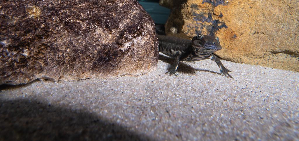 Sardinian Brook Salamander_4