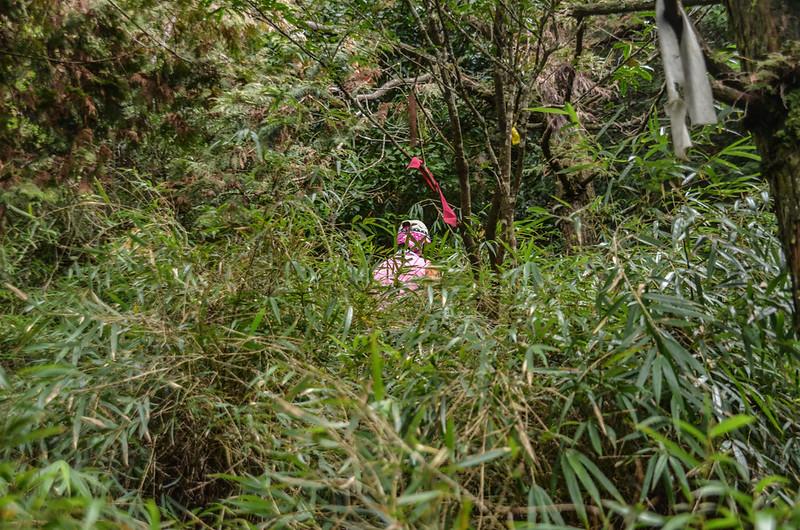 登北三錐山矮箭竹林 (2)