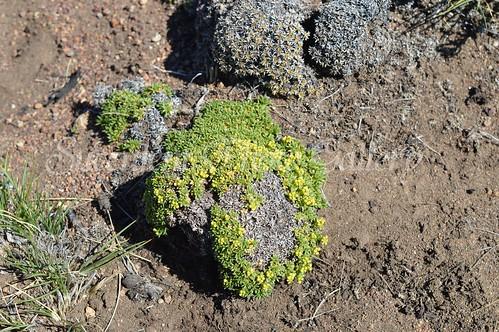 aDSC_0260 Azorella monantha  アゾレア モナンサ