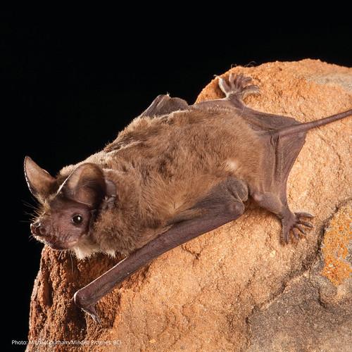Mexican free-tailed bat (Tadarida brasiliensis)