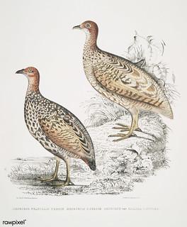 1. Hepburn's Francolin (Perdix Hepburnii); 2. Perdix Hepburnii, var. Pallida odypore from Illustrations of Indian zoology (1830-1834) by John Edward Gray (1800-1875). Original from The New York Public Library. Digitally enhanced by rawpixel.