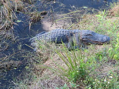 20170211 65 Alligator, Everglades National Park