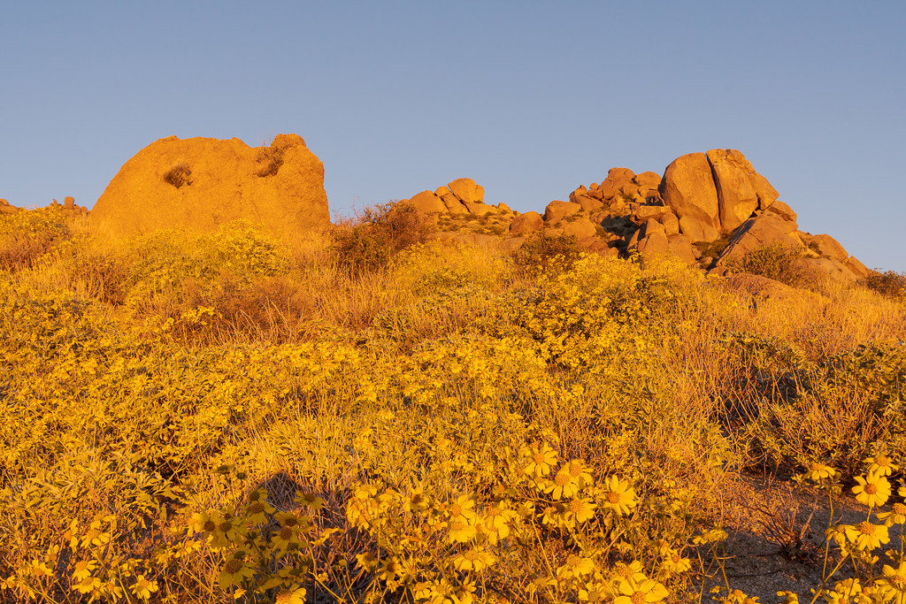 The Marcus Landslide Trail is awash in yellow flowers as brittlebush (I think) blooms in late December in McDowell Sonoran Preserve in Scottsdale, Arizona
