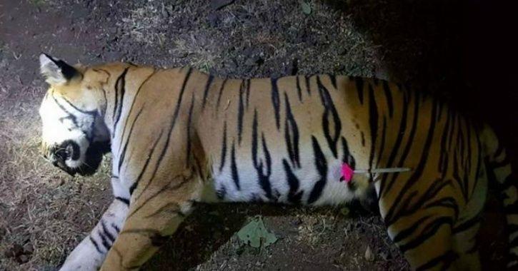 舉世矚目的老虎名為AVNI,因涉及多起人命,當局活捉不成,最終予以射殺