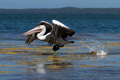 Pelican Take Off Sequence 2