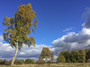 Silver birch, Barnack Hills + Holes NNR