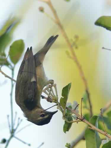 Black-throated Blue Warbler female 01-20181114