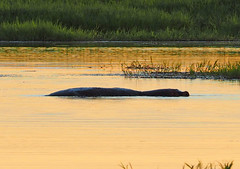 Hippopotamus - Hippopotamus amphibius, Gorongosa National Park, Mozambique