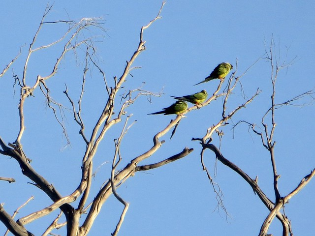 wild parrots after the fire