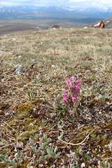 Wildflowers on the Tundra