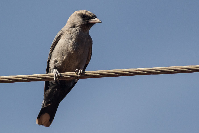 Dusky or Black-faced Woodswallows