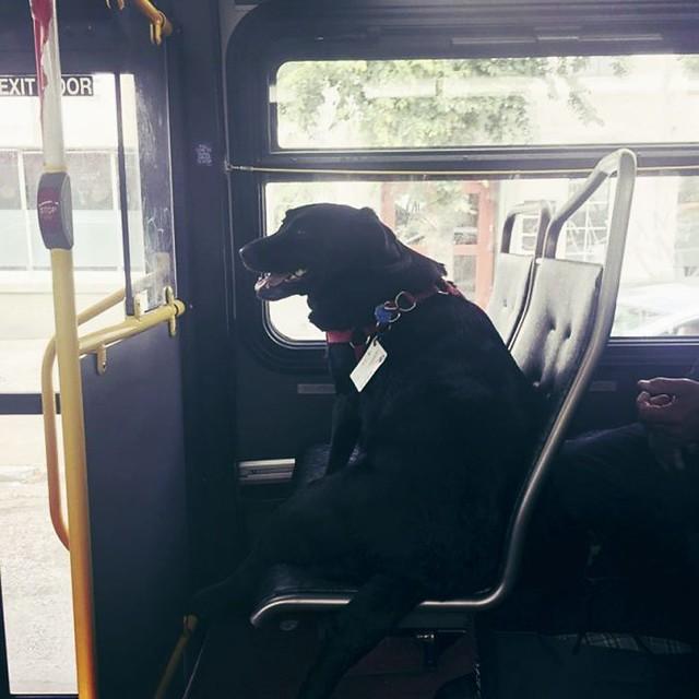 Perro-toma-el-autobus-a-diario