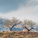 2 Olive Trees by Rachel Dunsdon