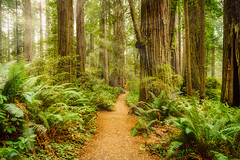 Lady Bird Johnson Grove in Redwood National Park, California.