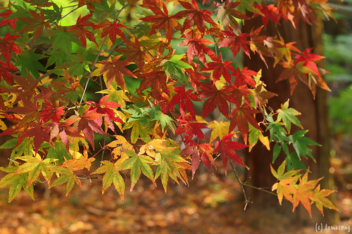 Autumn Color at Seiryuji Temple 2018