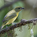 Summer Tanager-3