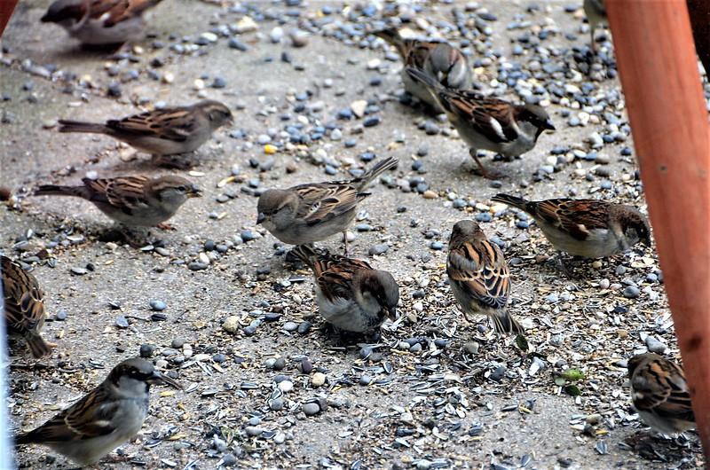 Sparrows 15.12 (13)