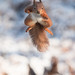 23rd January 2019 Red Squirrel by Alan McFadyen
