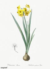 Daffodil illustration from Les liliacées (1805) by Pierre Joseph Redouté (1759-1840). Digitally enhanced by rawpixel.