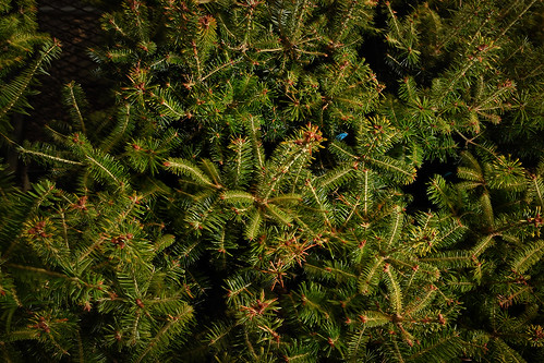 A few of the of the thousands of fraser fir seedlings in campus greenhouses.