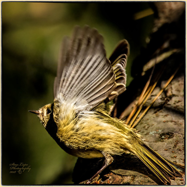 Busy Little Kinglet