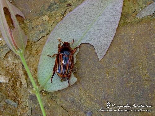 Pelidnota (Strigidia) nitescens (Vigors, 1825)