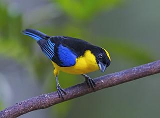 Clarinero Primavera-Anisognathus somptuosus-Blue-winged Tanager