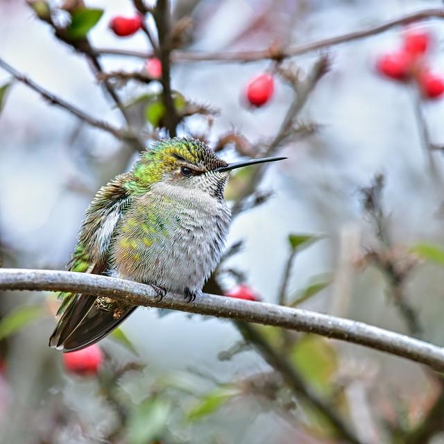 Anna's hummingbird (Calypte anna) . . .