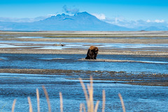 Alaskan Coastal Brown Bear grizzly searches for fish in a river in Katmai National Park, sitting on a sandbar