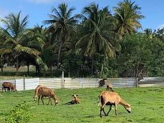 HFF! Barbados Blackbelly sheep