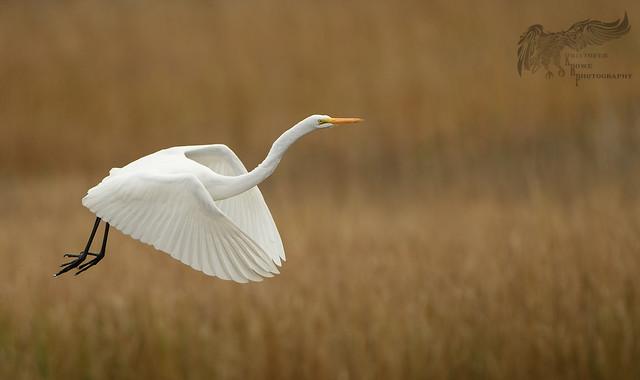 Great Egret 11_19