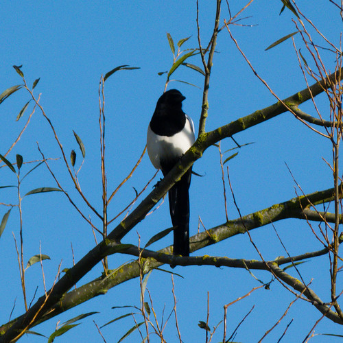 Magpie on willow branch, Doxey