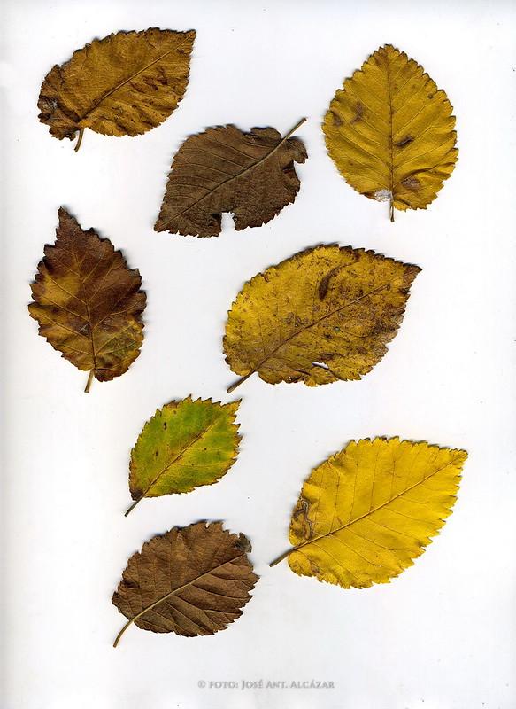 Fotografía de varias hojas secas realizada con un escaner
