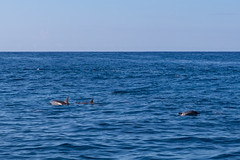 Na Pali Coast Spinner dolphins Kauai, Hawaii