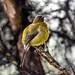 New Zealand native Bellbird  2698 by stan sutton