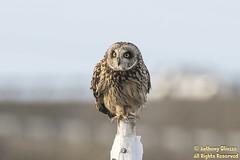 Short-eared Owl (9112)