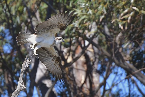 Osprey  ( she is on the move again )