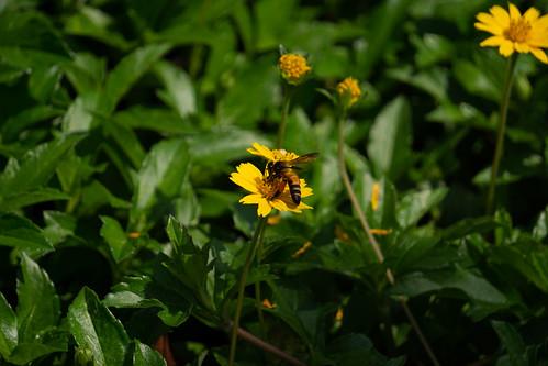 Bee on flowers-7