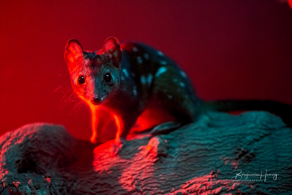 Adelaide Zoo Spotted Quoll
