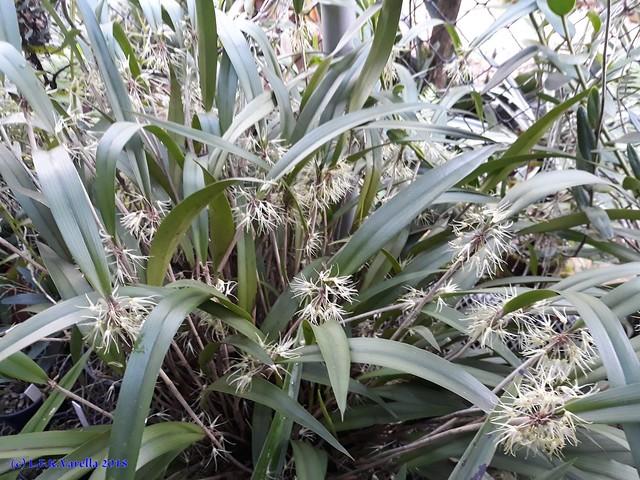 Myoxanthus exasperatus