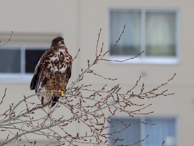 札幌市豊平川河川敷にいたオジロワシ幼鳥