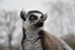 Maki catta (Lemur catta) - Photo of Béhoust