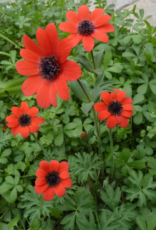 Anemone hortensis 32463937197_ee240bcc18_o